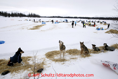 Dogs howl at the Finger Lake checkpoint March 4, 2013.