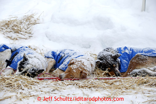 Mitch Seavey dogs rest in the falling snow at the Takotna checkpoint Wednesday March 6, 2013. Iditarod Sled Dog Race 2013 Photo by Jeff Schultz copyright 2013 DO NOT REPRODUCE WITHOUT PERMISSION