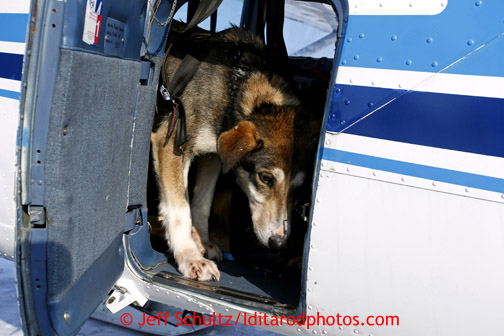 A dropped dog in the back of Jerry Wortley's plane in Shageluk is bound for Anchorage Saturday March 9, 2013. Iditarod Sled Dog Race 2013 Photo by Jeff Schultz copyright 2013 DO NOT REPRODUCE WITHOUT PERMISSION