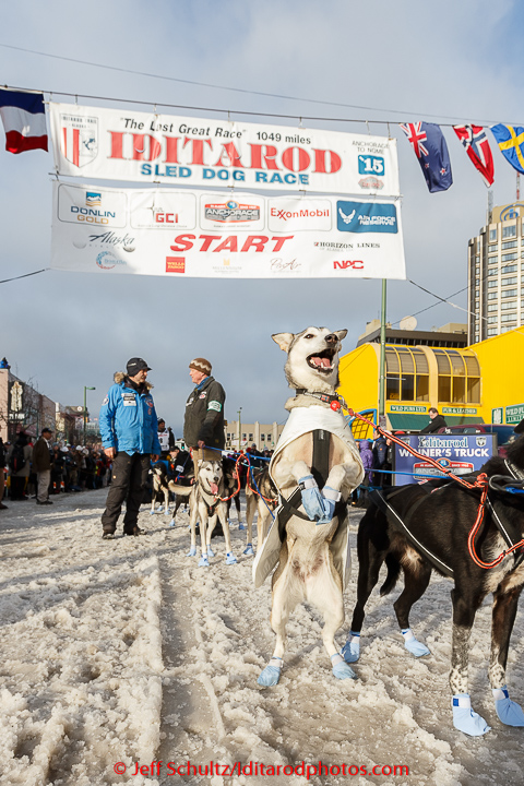 A Thomas Waerner dog jumps in anticipation of leaving the start line during the cermonial start day of Iditarod 2015. Saturday March 7, 2015 (C) Jeff Schultz/SchultzPhoto.com - ALL RIGHTS RESERVED  DUPLICATION  PROHIBITED  WITHOUT  PERMISSION