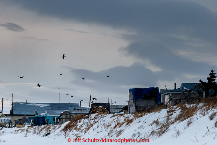 Ravens hover in the 35 mph winds over the Unalakleet checkpoint in the morning on Monday March 16, 2015 during Iditarod 2015.   (C) Jeff Schultz/SchultzPhoto.com - ALL RIGHTS RESERVED  DUPLICATION  PROHIBITED  WITHOUT  PERMISSION