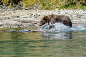 Grizzly bear at Crescent Lake in Lake Clark National Park .  Alaska Range.  early fall landscape.  2015  Alaska