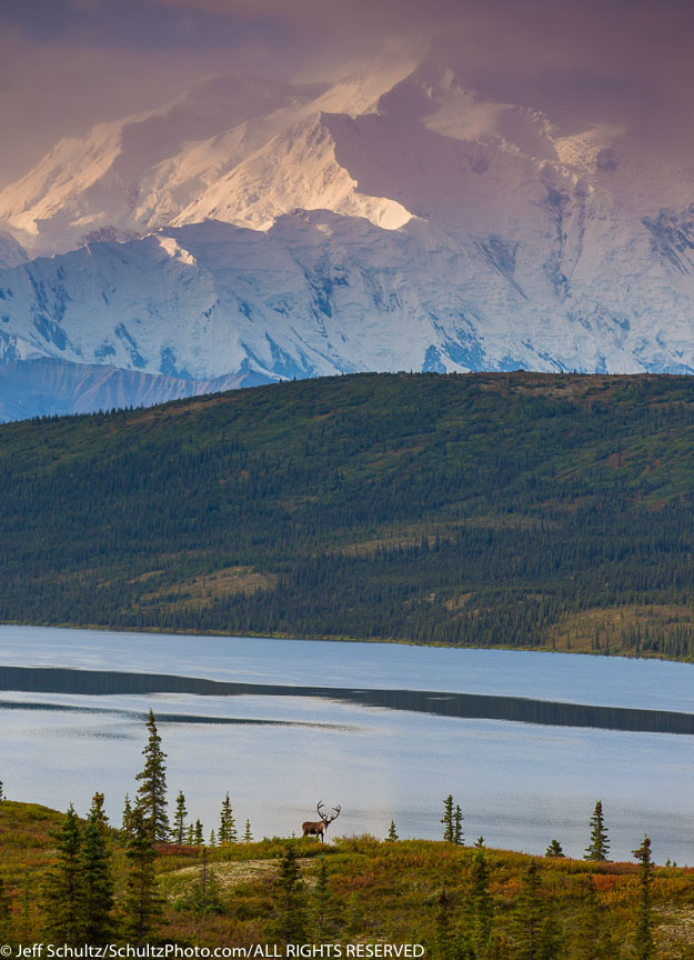 Caribou and Wonder Lake with Mt. Mckinley in Denali National Park during the 2014 Denali Photo Workshop/tour-- Kantishna Roadhouse-- Summer Alaska Copyright Jeff Schultz / SchultzPhoto.com