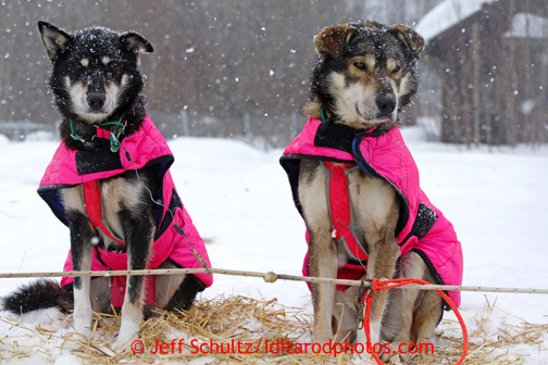 Deedee Jonrowe's dogs Gouda, left, and Cheddar, litter mates, rest at the Takotna checkpoint just before dawn on Wednesday March 6, 2013. Iditarod Sled Dog Race 2013 Photo by Jeff Schultz copyright 2013 DO NOT REPRODUCE WITHOUT PERMISSION