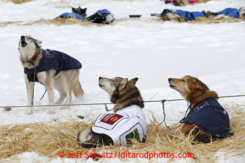 Aliy Zirkle dogs howl in unison at the Takotna checkpoint on Wednesday March 6, 2013. Iditarod Sled Dog Race 2013 Photo by Jeff Schultz copyright 2013 DO NOT REPRODUCE WITHOUT PERMISSION