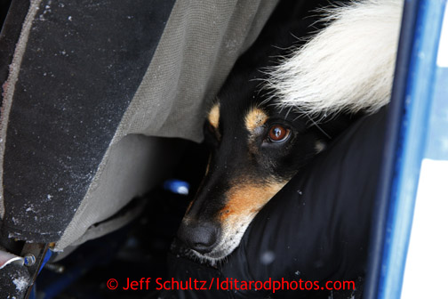 A dropped dog peers out of the back of pilot Greg Sampson's plane at the Takotna airstrip on Wednesday March 6, 2013. Iditarod Sled Dog Race 2013 Photo by Jeff Schultz copyright 2013 DO NOT REPRODUCE WITHOUT PERMISSION