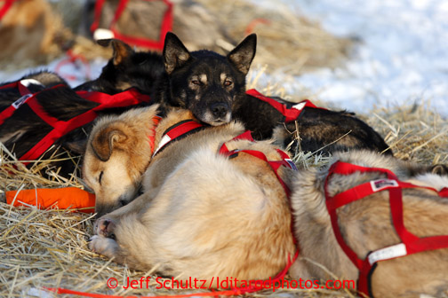 Jake Berkowitz's dogs sleep together at the Kaltag checkpoint on Saturday March 9, 2013. Iditarod Sled Dog Race 2013 Photo by Jeff Schultz copyright 2013 DO NOT REPRODUCE WITHOUT PERMISSION