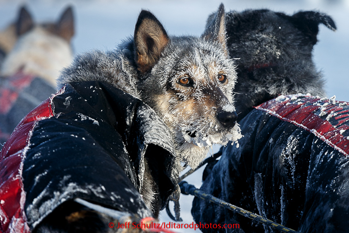 An Anna Berington dog is frosted up after 40 below zero run into the Huslia checkpoint on Saturday  March 14, 2015 during Iditarod 2015.   (C) Jeff Schultz/SchultzPhoto.com - ALL RIGHTS RESERVED  DUPLICATION  PROHIBITED  WITHOUT  PERMISSION