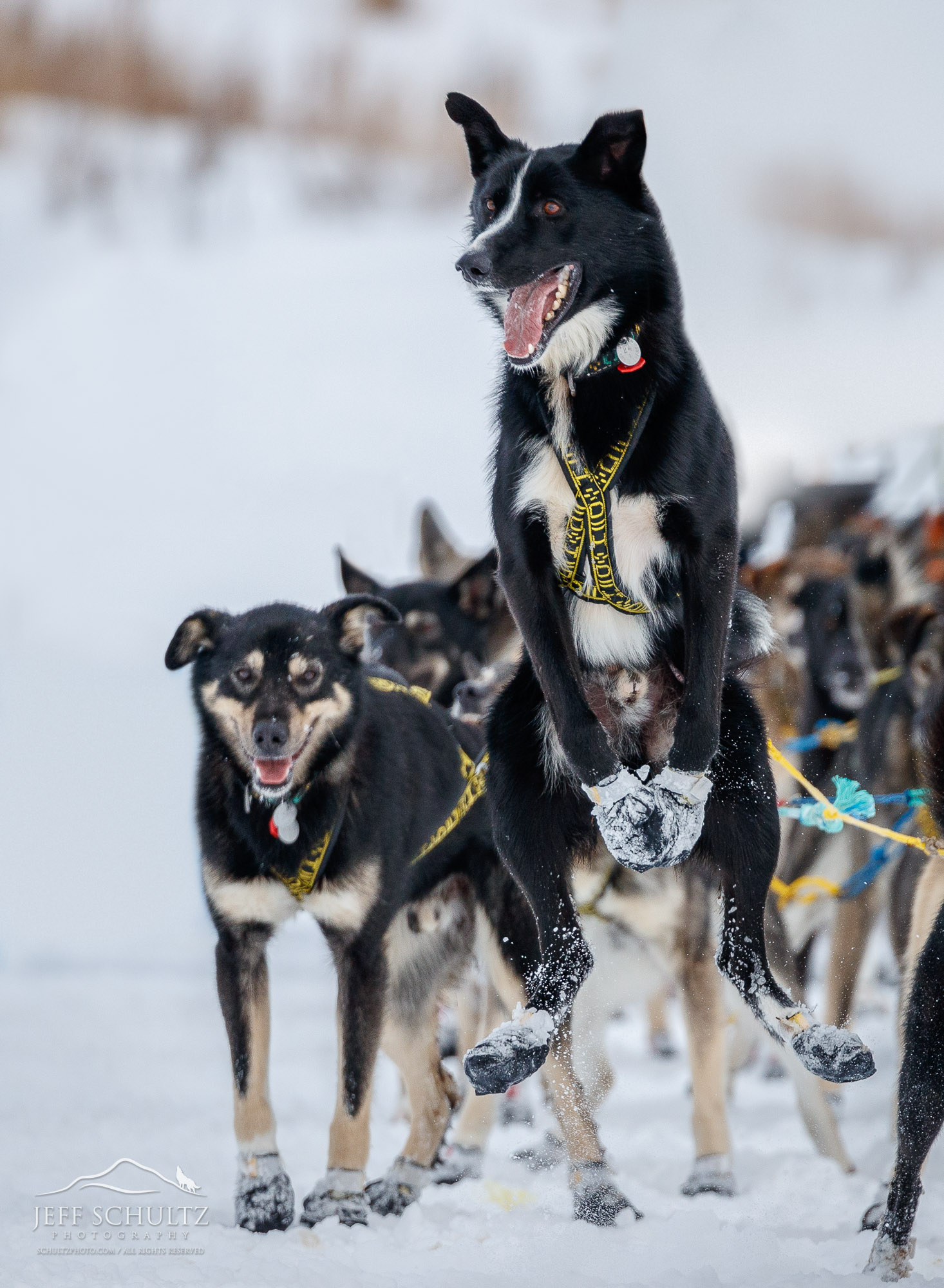 Iditarod - Jeff Schultz Photography