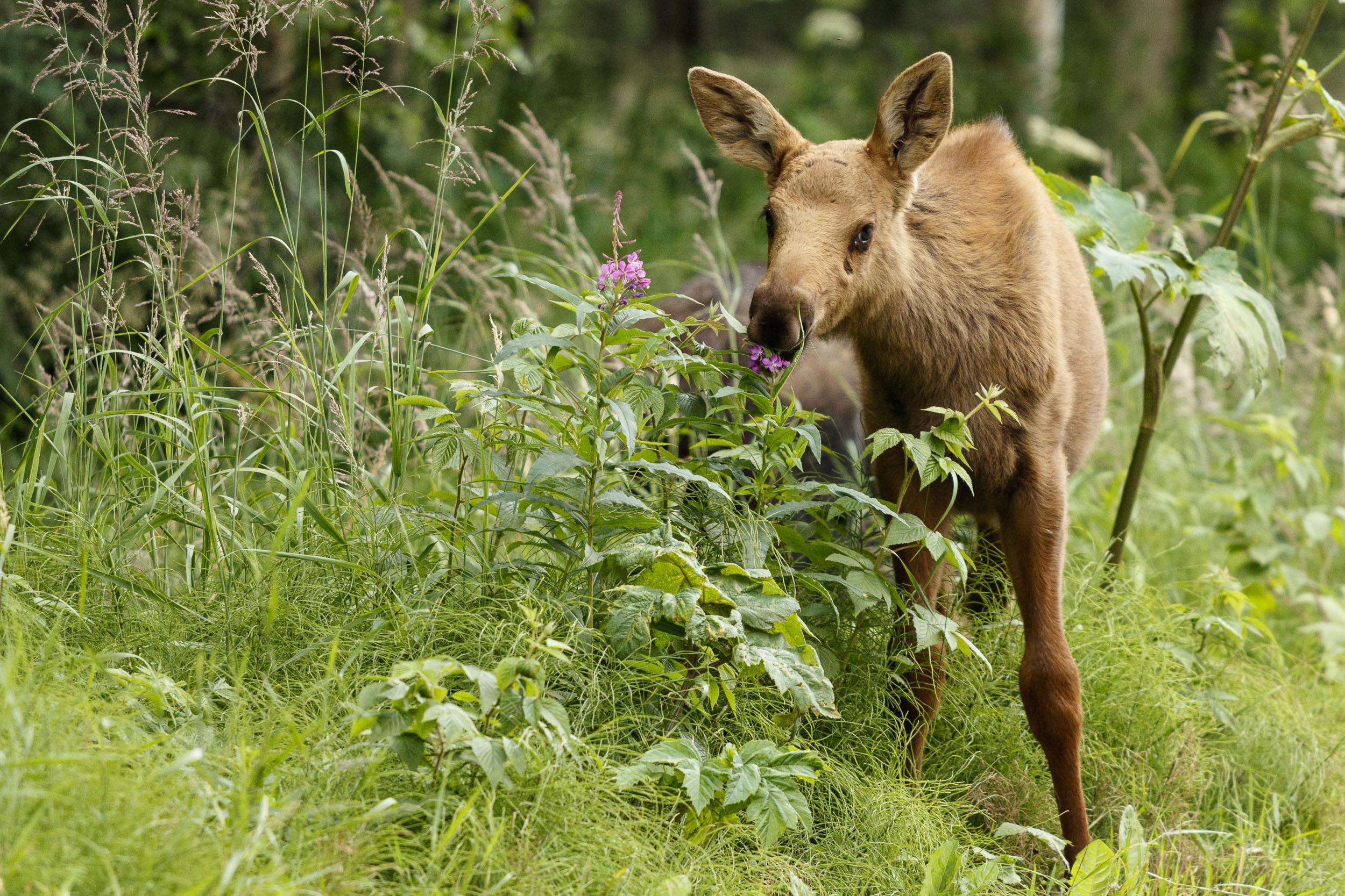 Alaska Wildlife Photography Jeff Schultz