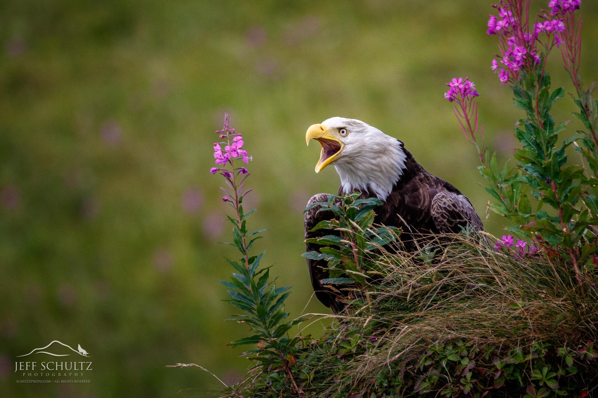 Wildlife Amp Bird Photography Of Alaska Jeff Schultz