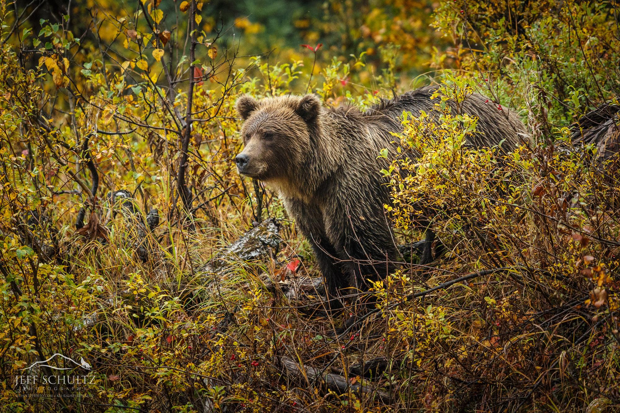Alaska Wildlife Photography - Jeff Schultz