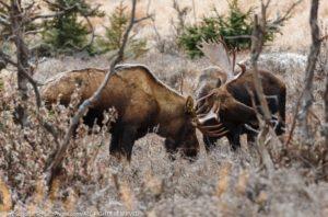 moose-6