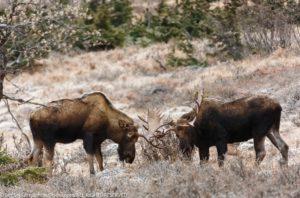 moose-7