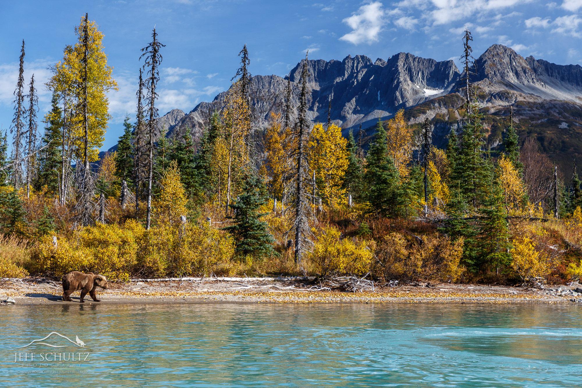 2020 Alaska Brown Bears Moose And Glacier Photography